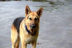 Un chien de berger allemand est sujet parfait de portrait photos libres de droits