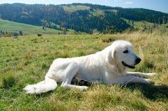 Un chien de berger sur le pré Photographie stock