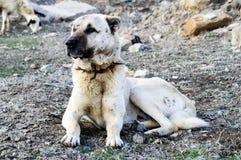 Un chien de berger, un chien de berger qui protège les moutons contre le loup a fatigué le chien de berger de chien, reposant le  Photo stock