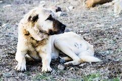 Un chien de berger, un chien de berger qui protège les moutons contre le loup a fatigué le chien de berger de chien, reposant le  Image stock
