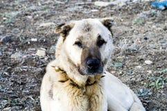 Un chien de berger, un chien de berger qui protège les moutons contre le loup a fatigué le chien de berger de chien, reposant le  Photographie stock libre de droits