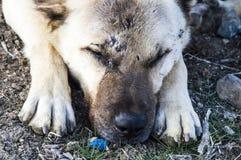 Un chien de berger, un chien de berger qui protège les moutons contre le loup a fatigué le chien de berger de chien, reposant le  Images libres de droits