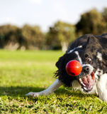 Border collie cherchant le jouet de boule de chien au parc images stock