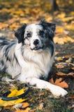 Un chien de border collie dehors en parc d'automne Images stock