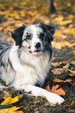 Un chien de border collie dehors en parc d'automne Photo libre de droits