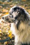 Un chien de border collie dehors en parc d'automne Photos libres de droits