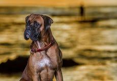 Un chien de boxeur sur la plage par coucher du soleil image libre de droits
