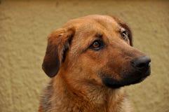 Un chien de Brown Photographie stock libre de droits