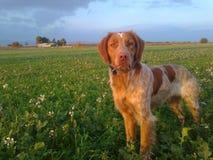 Un chien de chasse regardant directement à l'observateur ou à l'appareil-photo photographie stock
