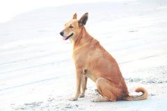 Un chien de Fishermans à la plage de Colva dans l'Inde de Goa Photographie stock