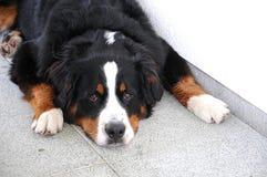 Un chien de montagne bernese an Photographie stock libre de droits
