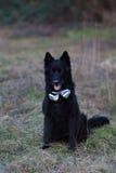 Un chien de moutons noirs Image stock