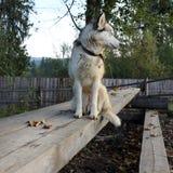 Un chien de pur sang se repose sur une barre transversale en bois sur la rue et examine la distance image libre de droits