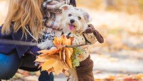 Un chien de Yorkshire Terrier joue avec l'hôtesse photographie stock