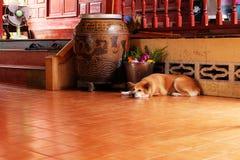 Un chien ennuyé, se ferment vers le haut de la canine sur le plancher en bois du fond de Chambre Photographie stock libre de droits