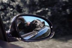 Un chien et son propriétaire conduisant dans le cabrio Photographie stock libre de droits