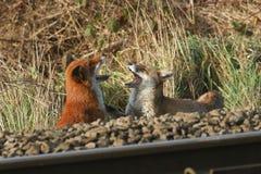 Un chien et un vulpes de Vulpes de renards rouges de renarde, avec leurs deux bouches grandes ouvertes, montrant leurs dents, tou Photographie stock libre de droits
