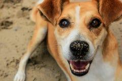 Un chien heureux sur la plage de sable Photo libre de droits
