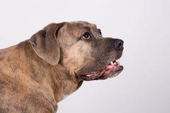 Un chien humble Photo libre de droits