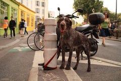 un chien inquiet, son maitre n'est plus la Royalty Free Stock Image