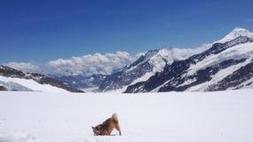Un chien jouant avec la neige devant le glacier d'Aletsch, Suisse Photo libre de droits