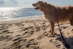 Un chien joue sur le rivage de baie de Delaware Image stock