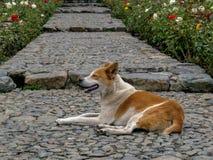 Un chien métis se repose sur un escalier en pierre très vieil photographie stock libre de droits