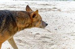 Un chien marche sur le bord de la mer Image libre de droits