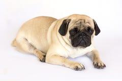 Un chien menteur de roquet semblant triste D'isolement Photos stock