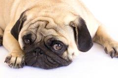 Un chien menteur de roquet semblant triste D'isolement Images libres de droits