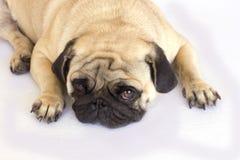 Un chien menteur de roquet semblant triste D'isolement Image stock