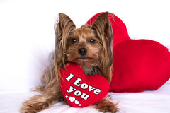 Un chien mignon de garçon de terrier de Yorkshire de valentine d'amant avec un rouge entendent Photographie stock