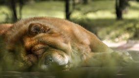 Un chien mignon de repos de bouffe Photos stock