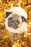 Un chien mignon de roquet se repose dans le feuillage jaune photographie stock
