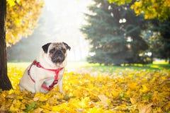 Un chien mignon de roquet se repose dans le feuillage jaune contre le contexte d'un parc de ville d'automne photographie stock