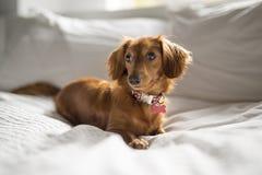 Un chien mignon de teckel à la maison sur le lit photos stock