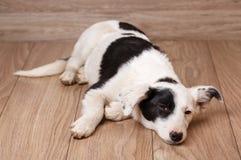 Un chien noir et blanc frustrant et sans abri Portrait d'un chien sans abri Photographie stock libre de droits