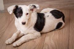 Un chien noir et blanc frustrant et sans abri Portrait d'un chien sans abri Photos stock
