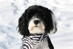 Un chien noir et blanc mignon me regardant un jour neigeux Image libre de droits