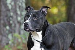 Un chien noir et blanc plus ancien de Pitbull Images libres de droits