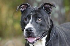 Un chien noir et blanc plus ancien de Pitbull Image stock