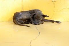 Un chien noir paresseux Photos stock