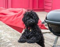 Un chien pelucheux noir mignon regardant l'appareil-photo Photos libres de droits