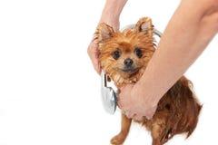 Un chien pomeranian prenant une douche avec de l'eau le savon et Crabot sur le fond blanc Chien dans le bain Image stock