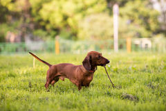 Un chien pour une promenade 3 Photo libre de droits