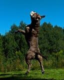 Un chien puissant sautant dans le ciel photo libre de droits
