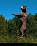 Un chien puissant sautant dans le ciel photos stock