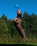 Un chien puissant sautant dans le ciel après un ballon photos stock