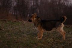 Un chien regardant très curieux images stock
