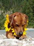 Un chien, ridgeback rhodesian avec des tournesols Photographie stock